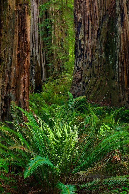 Ferns and redwood trees in forest at Stout Grove, Jedediah Smith Redwoods State Park, California