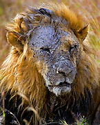 Muddy Lion (Panthera leo) from Maasai Mara, Kenya.