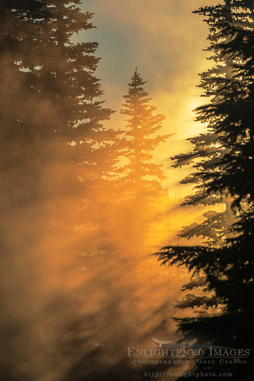 Sunrise light streaming through mist and trees in forest, Mount Rainier National Park, Washington
