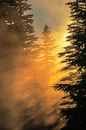 Sunrise light streaming through mist and trees in forest, Mount Rainier National Park, Washington