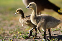 I took this unusual photo of Canada Goslings in Lakeside looking at lot like baby dinosaurs. These baby geese were super cute.