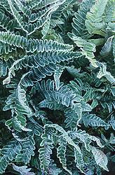 Frost on the foliage of Dryopteris erythrosora