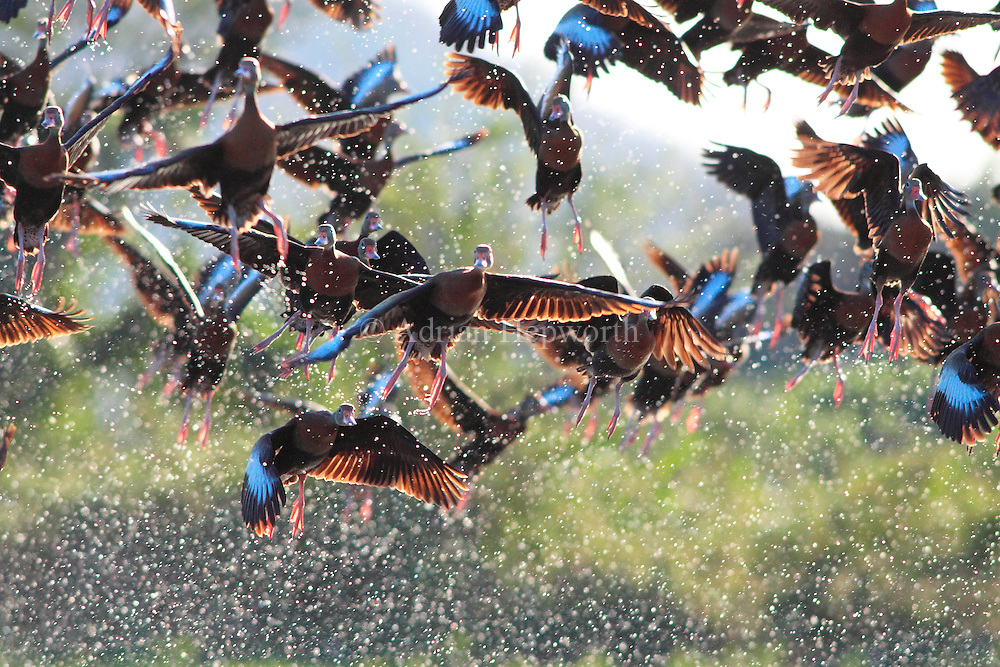 I spent quite a while slowly walking around this flock of Black-bellied Whistling Ducks in Guanacaste in order to get the sun behind them. I knew that when something eventually spooked the birds and they took off, they would fill the air with a shower of back-lit water droplets. A very high shutter speed did the rest.<br /> <br /> For sizes and pricing click on ADD TO CART (above).