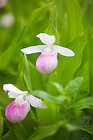 The Showy Lady's-slipper (Cypripedium reginae), also known as the Pink-and-white Lady's-slipper or the Queen's Lady's-slipper, is a rare terrestrial temperate lady's-slipper orchid native to northern North America.