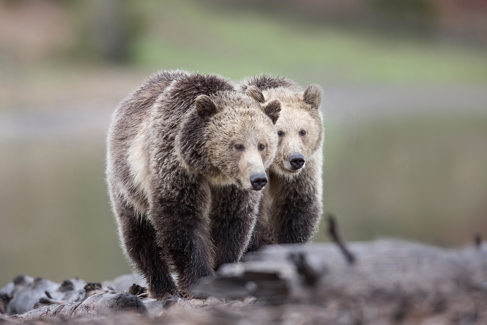 During their last week together, the grizzly sow, Raspberry, walks along the shore of Yellowstone Lake, with her sub-adult cub, Snow.