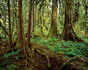 Colonades of rainforest trees, Olympic National Forest, Washington, © 1995 David A. Ponton  [From 4x5 original]
