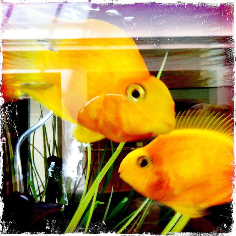 Goldfish - Houston, Texas