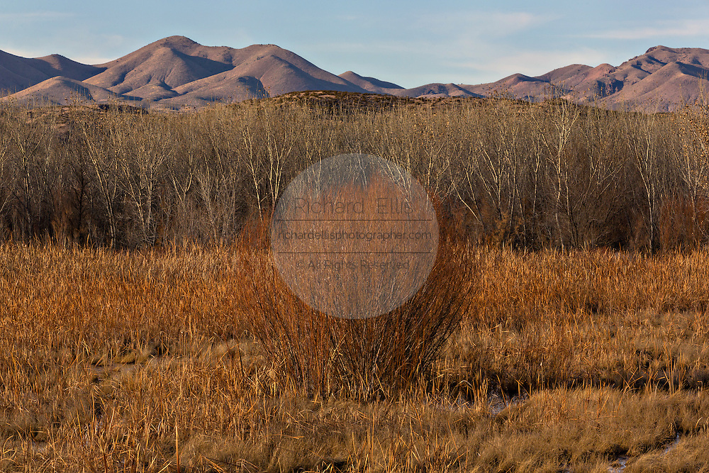 Muted colors of dried bull rush, cottonwood and coyote willow thickets with the Chupadera Mountains during winter at the Bosque del Apache National Wildlife Refuge in San Antonio, New Mexico. The refuge restored the original Rio Grande bottomlands habitat with native species.