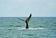 Whale tail fin in the Golfo Nuevo in Patagonia, Argentina, South America