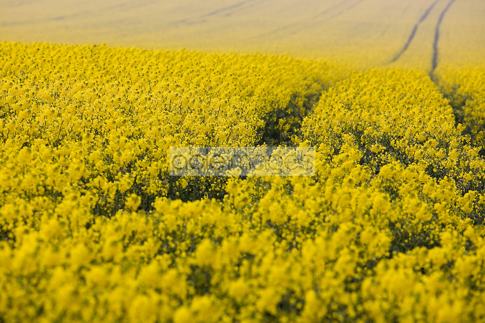 Rapeseed field with tractor tracks