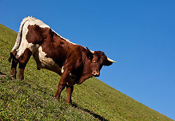 """THEMENBILD - RIND, ein Pinzgauer Rind auf einer Bergwiese. Das Pinzgauer Rind ist ein auf Milch und Fleisch gezüchtetes Zweinutzungsrind und zählt zu den europäischen Höhenviehrassen. Die Stammheimat liegt rund um den Großglockner, wobei sich der Name dieser Rinderrasse von der Region ,,Pinzgau"""" ableitet. .Durch die Haltung im Berggebiet sowie aufgrund der extensiven Haltungsformen hat sich ein Rind mit besonderer Anpassungsfähigkeit an schwierige Standorte entwickelt, EXPA Pictures © 2011, PhotoCredit: EXPA/ J. Feichter"""