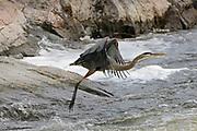 Great blue heron (Ardea herodias) landing<br />Burleigh Falls<br />Ontario<br />Canada