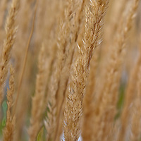 Calamagrostis× acutiflora 'Karl Foerster' (Feather reed grass)