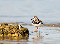 Guana River State Park, Florida -- The Ruddy Turnstone (Arenaria interpres) is a small wading, highly migratory bird, and a monogamous  breeder. Breeding in northern parts of Eurasia and North America the turnstone winters on coastlines almost worldwide. Surviving in a wide range of habitats and climatic conditions from Arctic to tropical its typical breeding habitat is open tundra with water nearby.