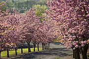 Spring in full bloom at Cristom Vineyards, Eola-Amity Hills, Willamette Valley, Oregon