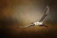 Snowy Egret in flight in breeding plumage