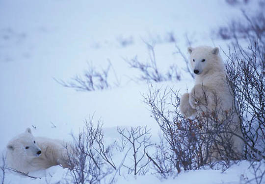 Polar Bear, (Ursus maritimus) Bear resting. Churchill, Manitoba. Canada.
