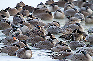 00748-05418 Canada Geese (Branta canadensis) flock on frozen lake at sunrise, Marion Co, IL