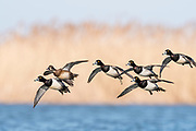 Ring-necked Duck, Aythya collaris, males & female, Saginaw Bay, Michigan