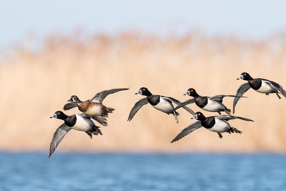 Ring-necked Duck, Aythya collaris, males & female, Saginaw Bay, Michigan