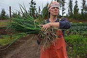 LIVING OFF THE GRID<br /> Jennifer Castellani harvesting leek at their organic farm. <br /> Anchor Point, Alaska, USA