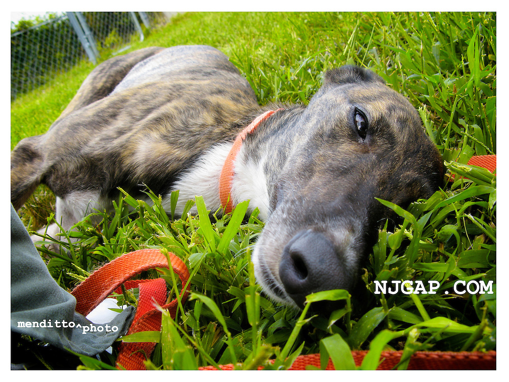 "McVice, an adoptee at the NJGAP Adoption Intake ready for a nap after a long drive from Florida and a bath. She doesn't know that's her name, but answers to ""hey Dog!"""