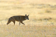 Lone coyote in the morning light