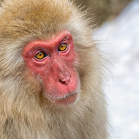 Portrait of Snow Monkey.