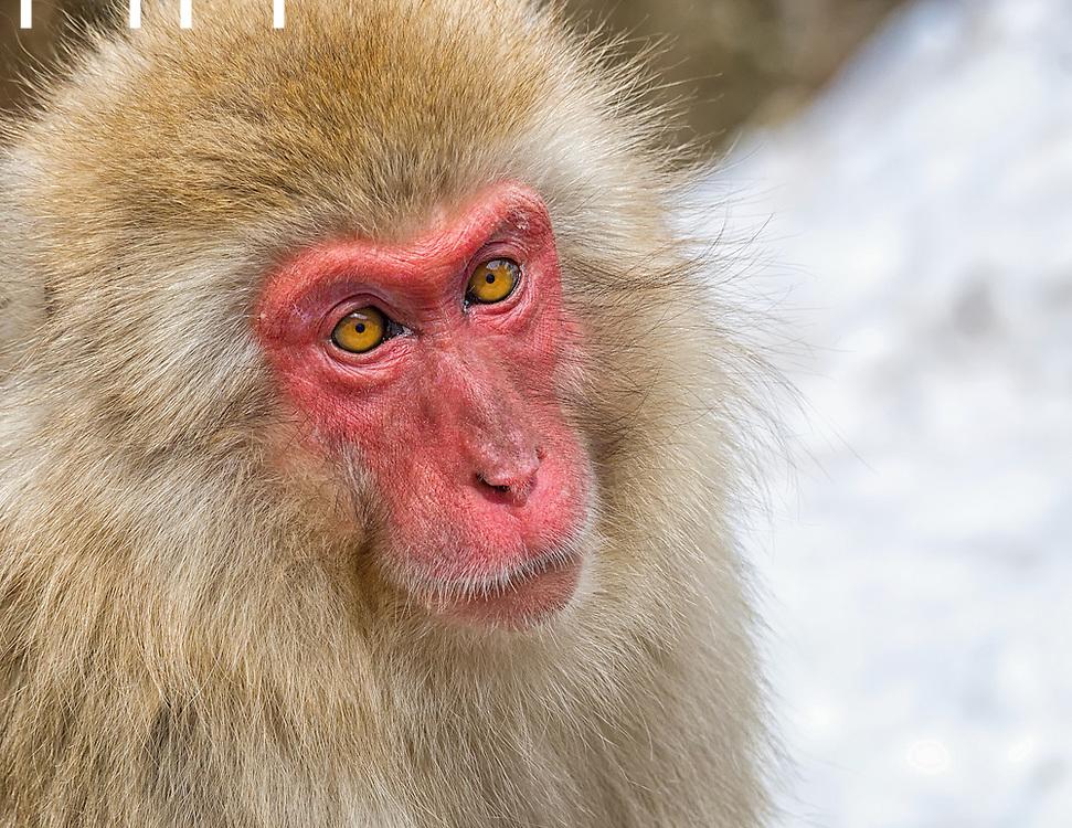 Portrait of Snow Monkey.