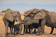 A wild elephant family drinks at a water hole in Zimbabwe