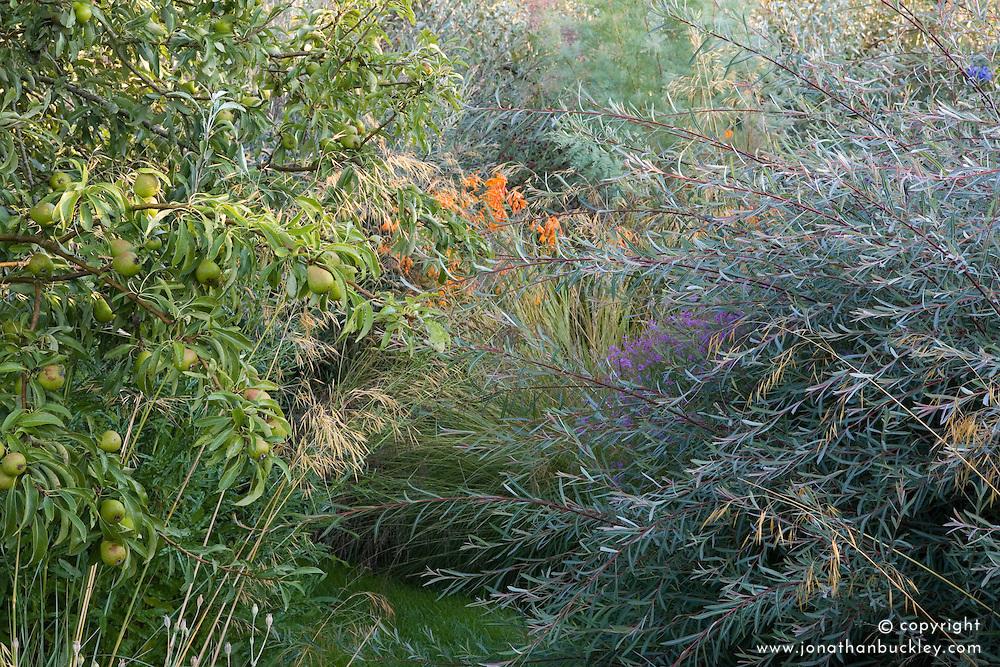 Salix purpurea 'Nancy Saunders' with Lythrum virgatum, Crocosmia 'Late Cornish' and Elaeagnus 'Quicksilver' beyond. Pear tree in fruit to the left