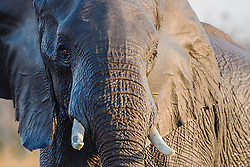 A young elephant bull playing in the water of the Okavango Delta (Loxodonta africana), Moremi Game Reserve, Botswana