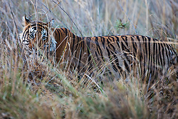 A portrait of a male Bengal tiger standing in tall grass (Panthera tigris tigris), Ranthambhore National Park, Rajasthan, India,