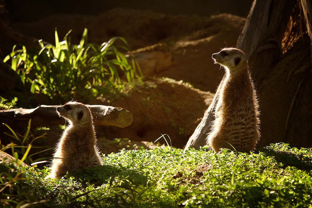 Meerkats in captivity
