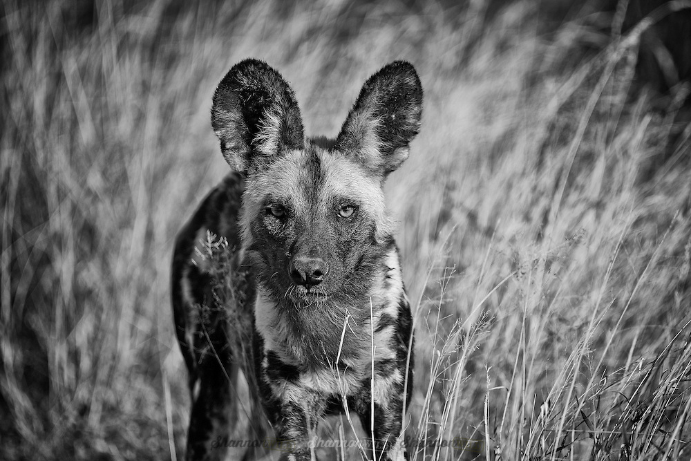 An African Wild Dog stares into the camera, three quarter body shot, slightly left of centre. Shallow depth of field.