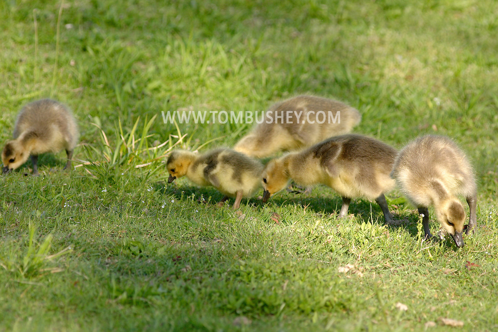 Middletown, N.Y. - Five goslings look for food in the grass at Fancher-Davidge Park on May 4, 2006. ©Tom Bushey