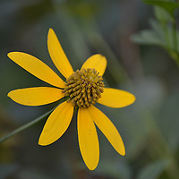 Cutleaf Coneflower, North Park