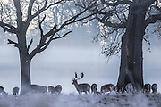UNITED KINGDOM, London: 29 November 2016 A stag and other red deer stand amongst a frosty Richmond Park this morning as temperatures plummeted to -7C last night. Rick Findler / Story Picture Agency