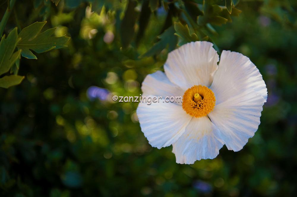 White Flower, Yellow Center, Achillea ptarmica 'Gypsy White' Malibu, CA