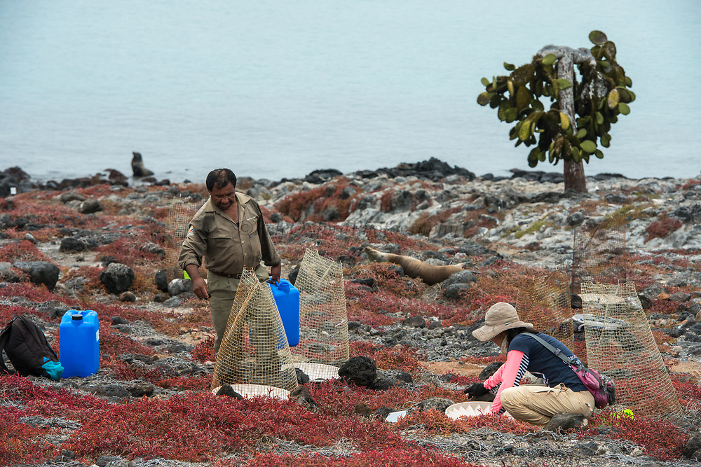 Researchers planting Opuntia Cactus<br /> South Plaza Island<br /> Galapagos<br /> Ecuador, South America