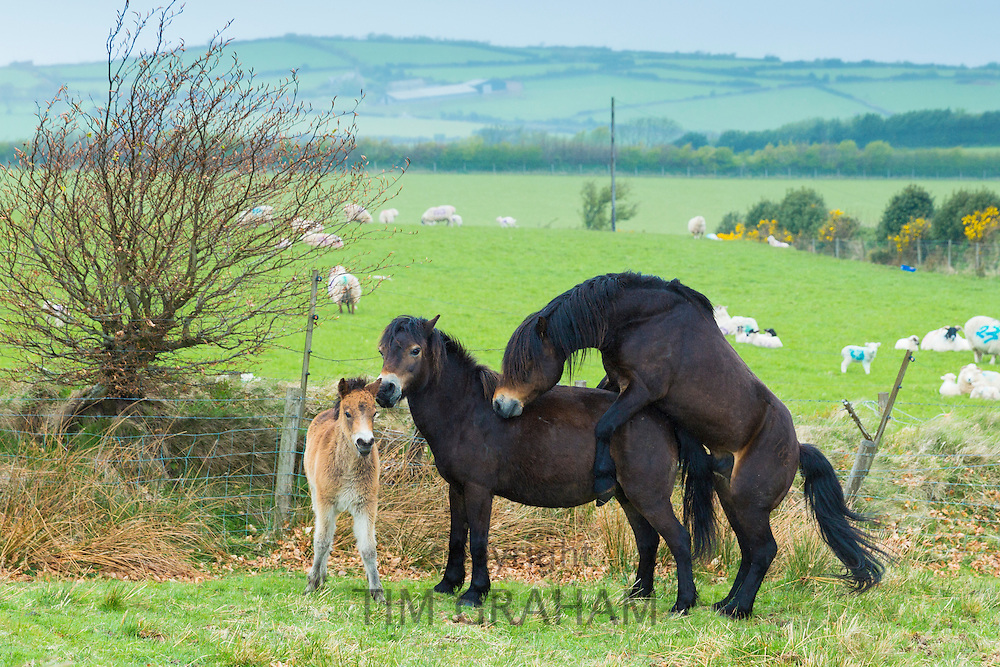 Male wild Exmoor stallion pony, Equus caballus, mating with mare female on moorland in Exmoor National Park, Somerset, UK