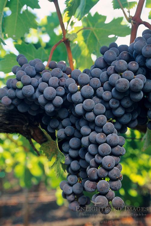 Wine grapes on the vine at Kunde Estates, Sonoma Valley, near Kenwood, Sonoma County, California