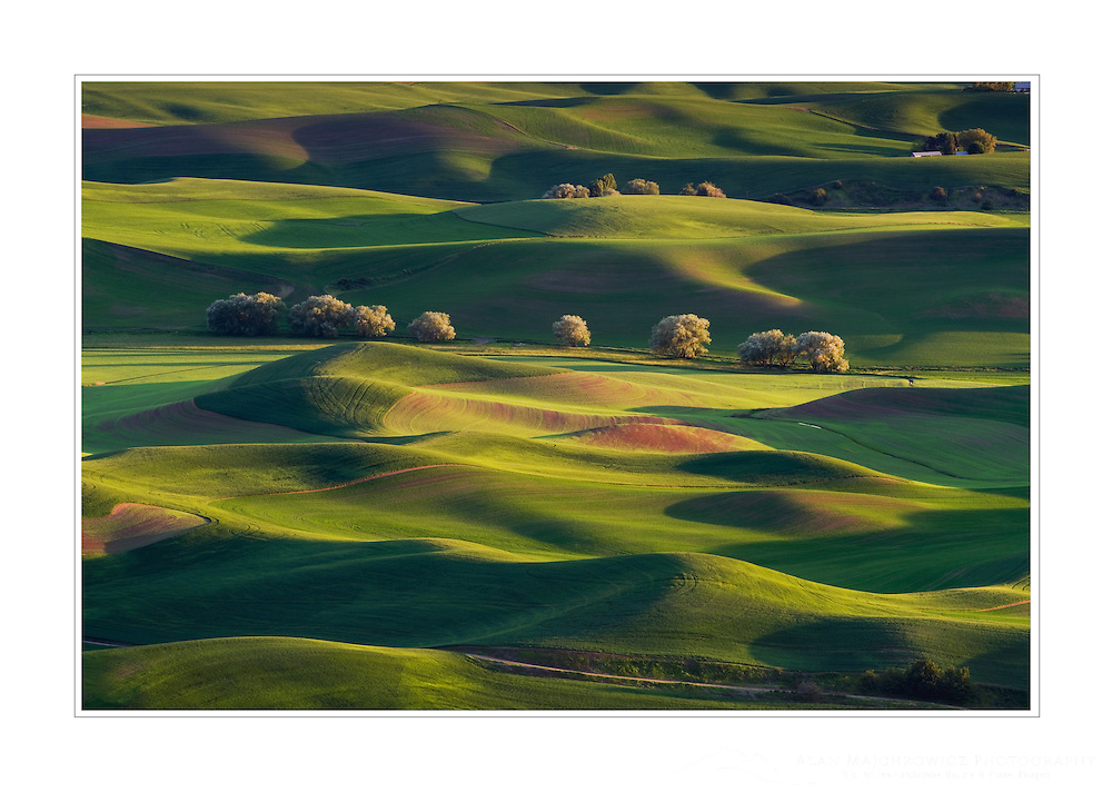 Rolling hills of green wheat fields seen from Steptoe Butte, the Palouse region of the Inland Empire of Washington