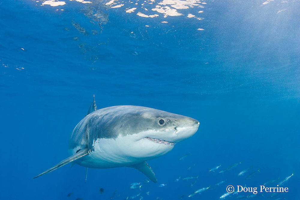 great white shark, white pointer or blue pointer, Carcharodon carcharias, male, Guadalupe Island, Mexico ( Eastern Pacific Ocean )
