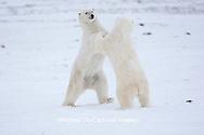 01874-11901 Polar Bears (Ursus maritimus) sparring / fighting in snow, Churchill Wildlife Management Area, Churchill, MB Canada