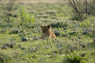 Lion (Panthera leo) - female<br /> AFRICA: Namibia<br /> Etosha National Park; Halali<br /> 3-5.April.2007<br /> J.C. Abbott #2322