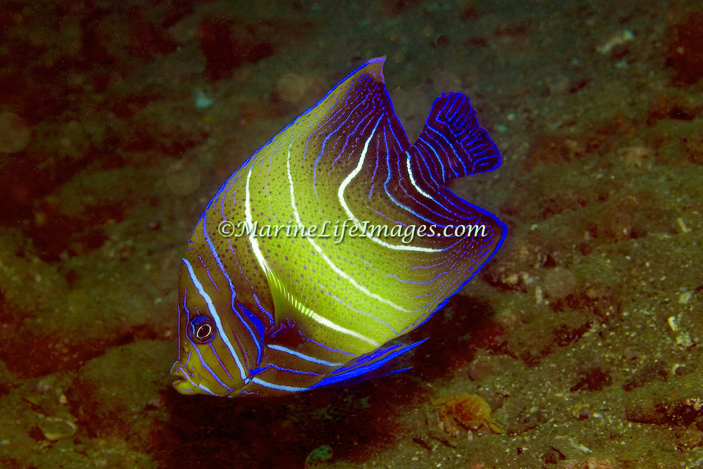 Semicircle Angelfish inhabit reefs. Picture taken Komodo, Indonesia.
