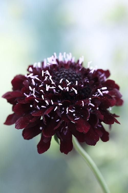Scabiosa atropurpurea 'Black Knight' - sweet scabious