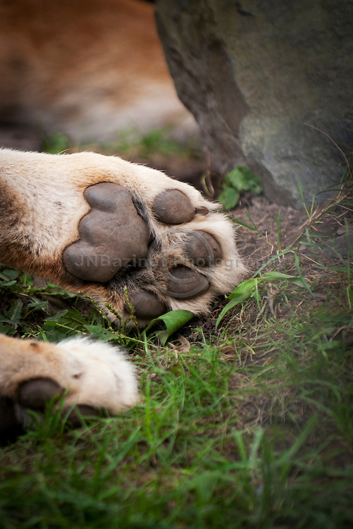 A lioness paw at rest