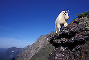 A male mountain goat (Oremanos americanus) climbing up a rock face near Logan Pass in Glacier National Park, Montana.